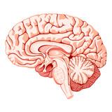 struktura mozku