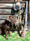 labrador retriever, hunting gun and trophies.