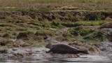 Seals clambers from river onto mud bank