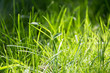 green grass in nature as a background