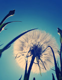 White giant dandelion against the sky
