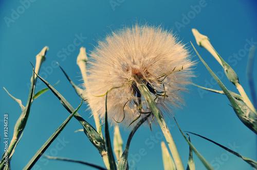 White giant dandelion against the sky Canvas-taulu