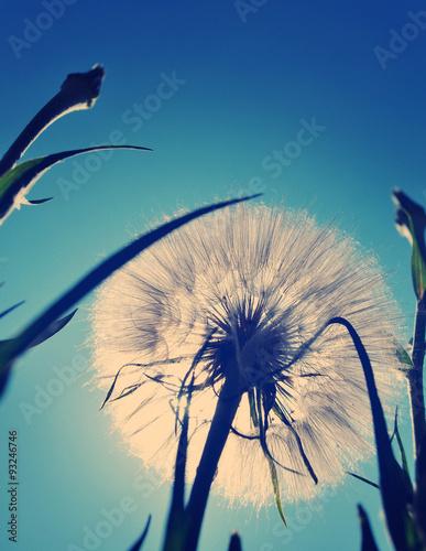 Juliste White giant dandelion against the sky