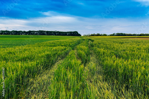 Foto op Canvas Klaprozen Green wheat field and blue sky