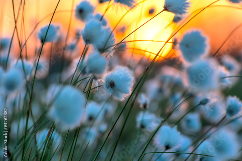 Poster Water planten Cotton grass on a background of the sunset sky