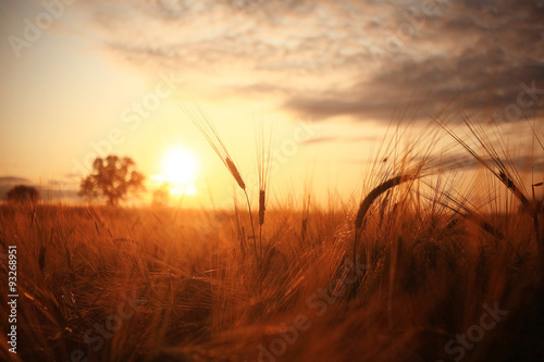 Papiers peints Rouge mauve Sunset in Europe in a wheat field