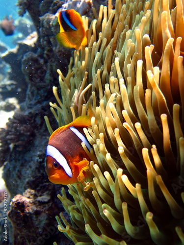 Fototapeta clownfish on anemone