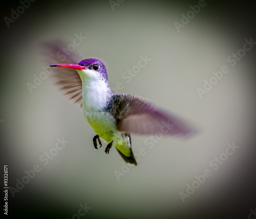 Violet Crowned Hummingbird. Using different backgrounds the bird becomes more interesting and blends with the colors. These birds are native to Mexico and brighten up most gardens where flowers bloom. - 93326171