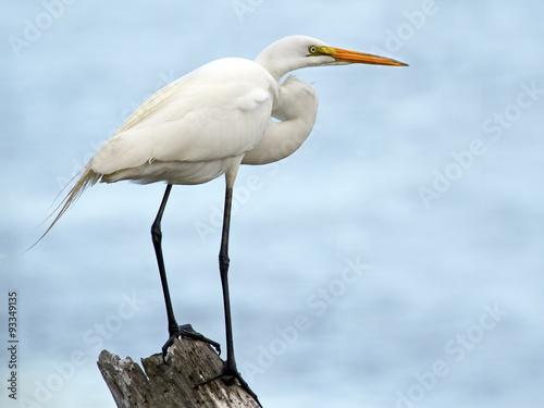 Poster Great Egret