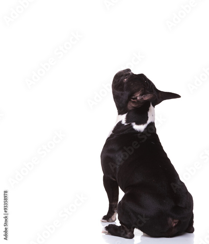 Foto op Aluminium Franse bulldog back view of a seated french bulldog puppy looking up