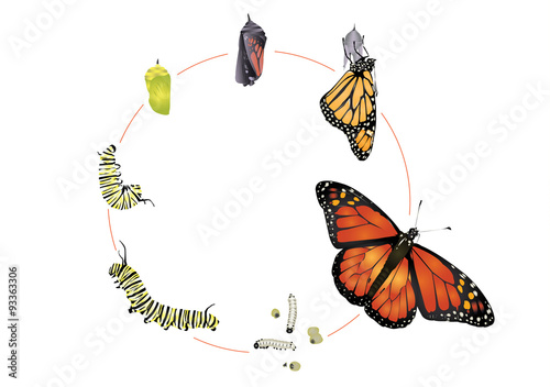 Life cycle of monarch butterfly.