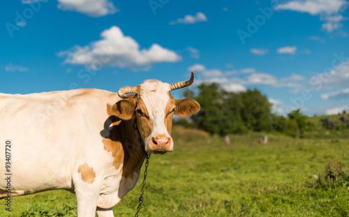 Aluminium Cow grazing in the meadow
