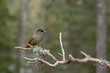 Siberian jay sitting on a dry pine branch
