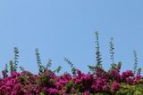 Różowa obsypana kwiatami dorodna rosnąca nad morzem śródziemnym bugenwilla na tle niebieskiego czystego nieba