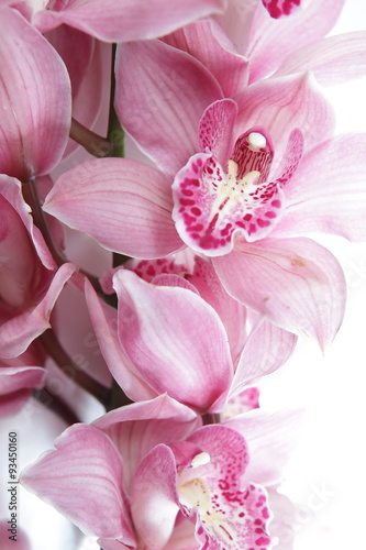 fototapeta na ścianę Tropical pink orchid isolated over white background