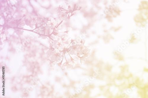 Poster Soft focus of sakura flower on sweet color