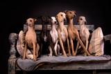 Italian Greyhounds Group