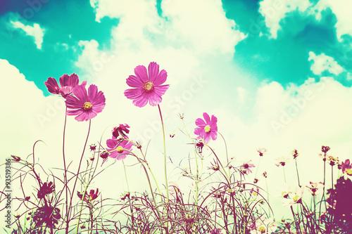 Fototapeta Retro cosmos flower fields background.