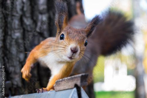 squirrel - 93534579
