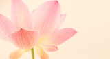 Fototapety sweet pink lotus in soft and blur style for background