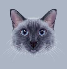 Przykładami Portret Thai Cat. Ładny niebieski punkt Tradycyjne Siamese Cat.