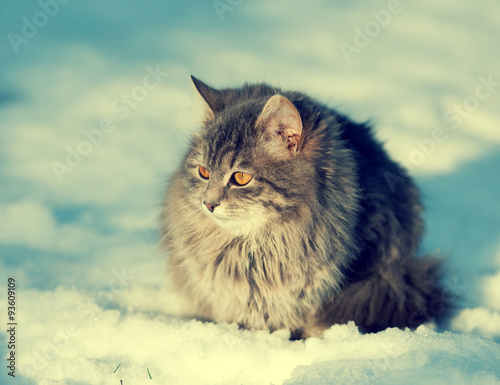 Poster Cute cat on the snow