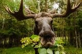 Fototapety Elch im Wald