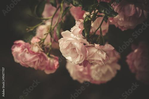 Zdjęcia na płótnie, fototapety, obrazy : gentle roses