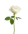 Obrazy na płótnie, fototapety, zdjęcia, fotoobrazy drukowane : single white rose  isolated  background