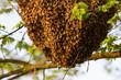 Obrazy na płótnie, fototapety, zdjęcia, fotoobrazy drukowane : Drone of bees