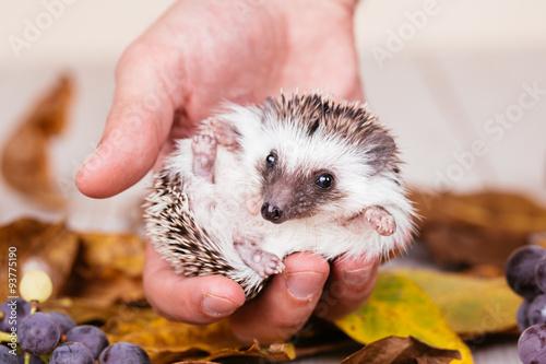 African miniature hedgehog baby in human hand © tamara83