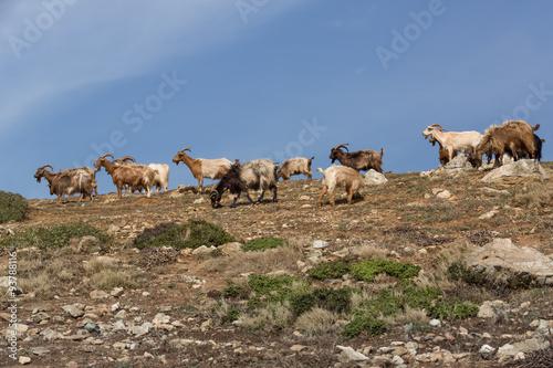 Poster Chèvres