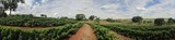 Fototapety Young coffee plantation skyline landscape
