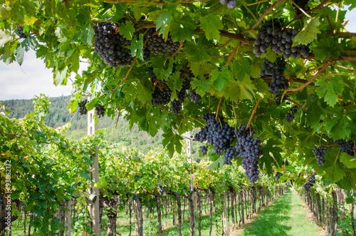 Vendemmia, grappoli di uva rossa per amarone in veneto a Verona Plakát