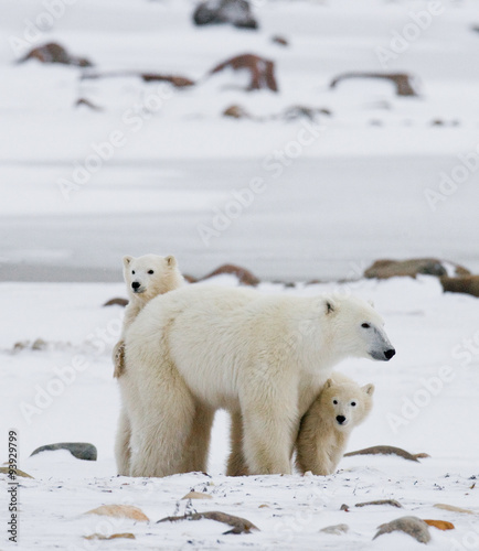 Plexiglas Ijsbeer Polar bear with a cubs in the tundra. Canada. An excellent illustration.