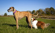 Patient great Dane waiting in grassy field while Shetland sheepdog sniffs her.