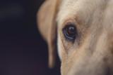 Close up of labrador retriever dog eye