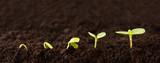 Rosnąca sekwencja roślin w brudzie - sadzonka rośnie coraz wyżej w brudzie - metafora sukcesu lub wzrostu