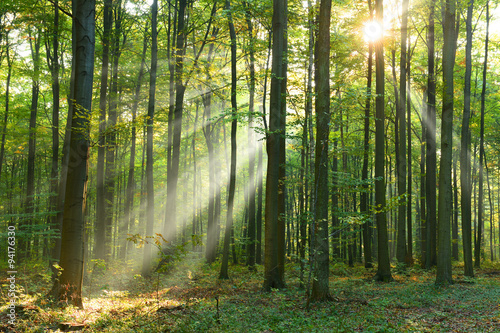 Morning in the forest - 94176330