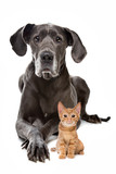 Great Dane and a Red kitten in front of a white background - 94180528