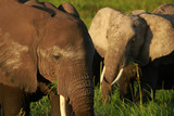 Two elephants eating the grass
