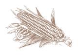 Two fresh corn-cobs