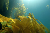 Underwater seaweed kelp forest at Catalina Island, California - 94214787