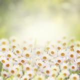 Daisies in The Flower Garden
