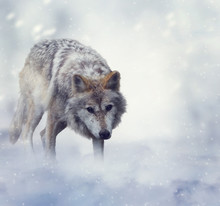 Wolf In Winter Time