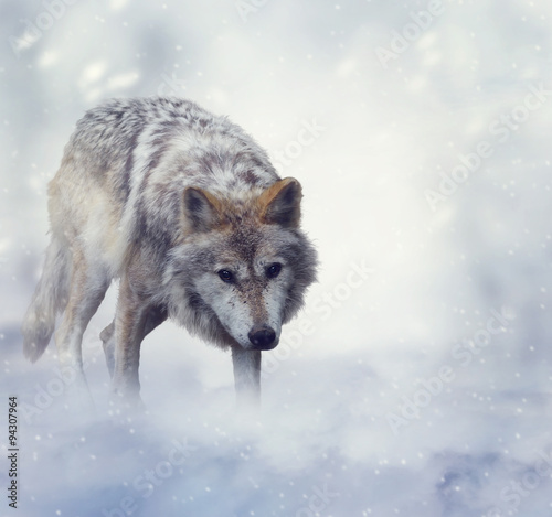 Fotobehang Wolf Wolf In Winter Time