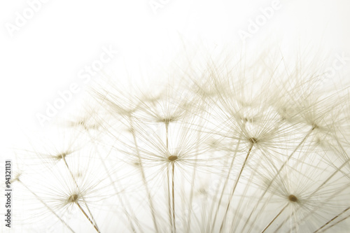 macro of an overblown fluffy dandelion - 94321131