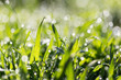 dew drops on green grass in nature