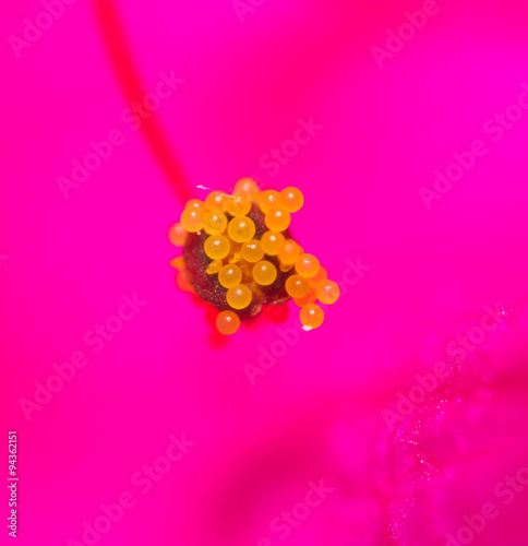 Plexiglas Roze pollen in flower kpasnom