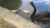 Black swan waterbird female mother with two cygnets poster